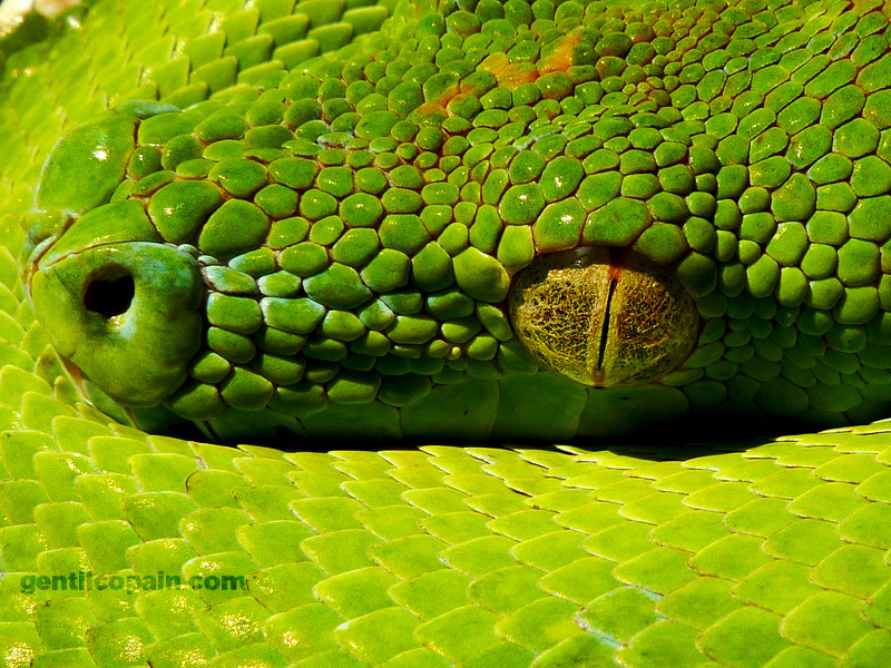 Photos: Morelia viridis aru photo par Lilo Gentilcopain