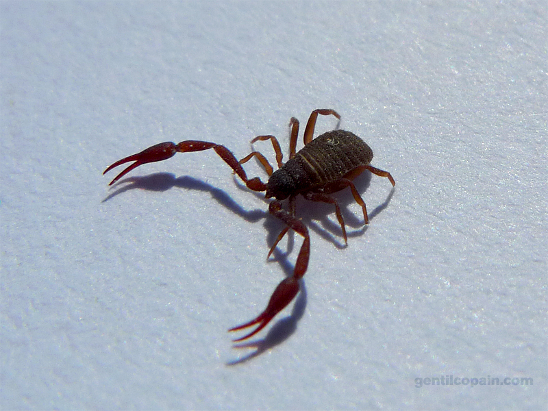 PseudoscorpionNeobisiidaeP1080529