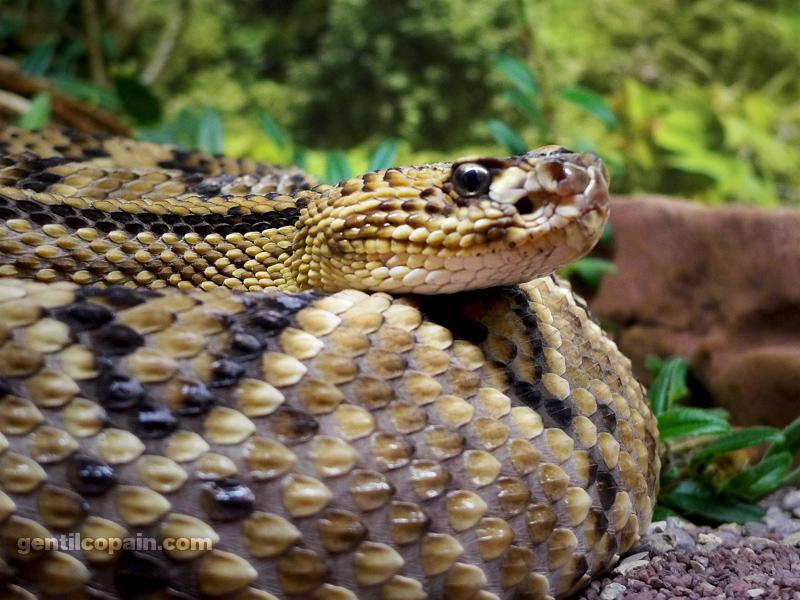 CrotaluDurissusCumanensisP1090709