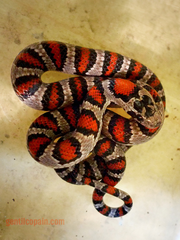 Lampropeltis_mexicana_greeri_MicaP1020977