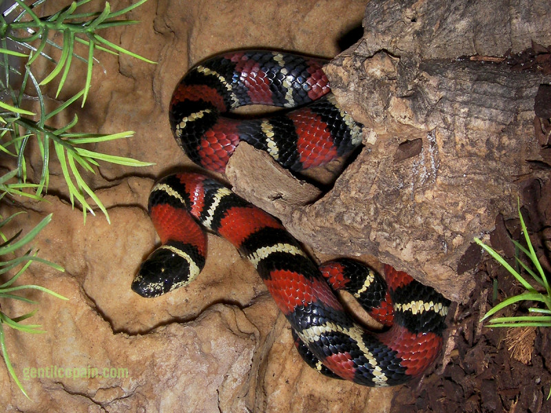Photos: Lampropeltis triangulum arcifera photo par Lilo Gentilcopain