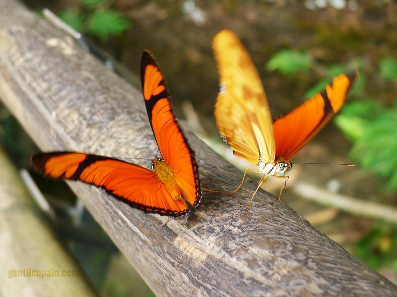 Butterflies at Igazu Falls Argentina
