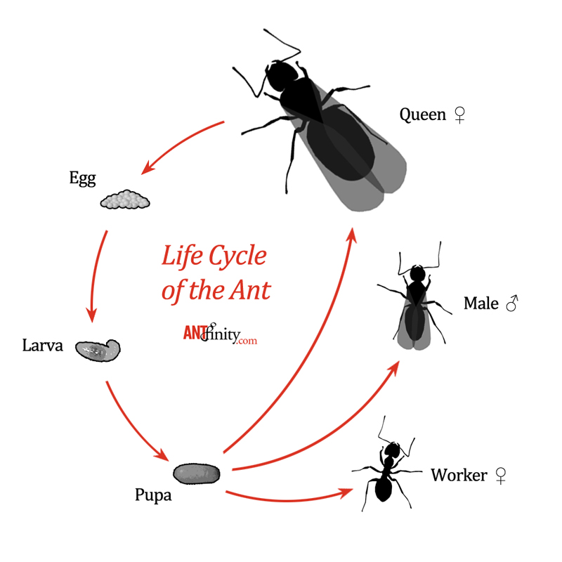 Ant Life Cycle Related...